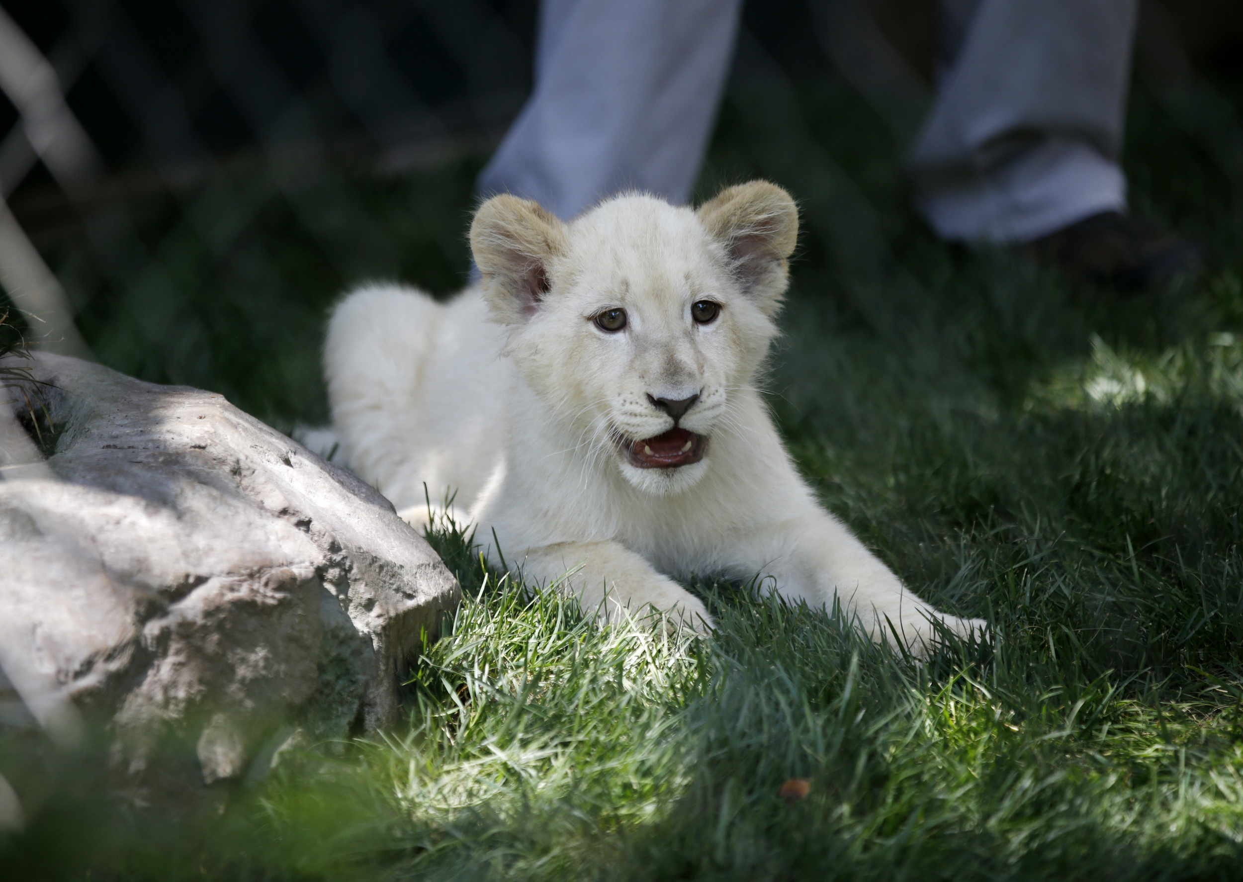 Siegfried Amp Roy Welcome 3 Snow White Lion Cubs Aol News