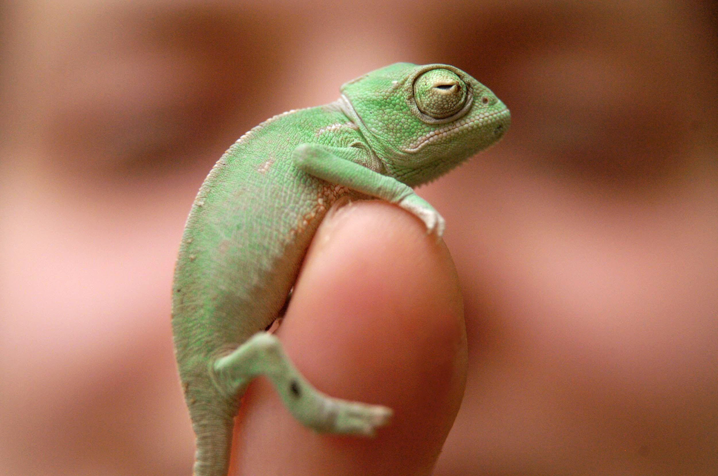 How Chameleons Change Color Revealed By Scientists Aol News