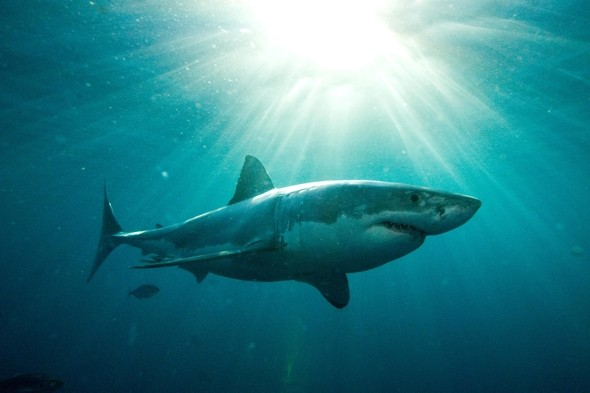 cute great white shark - photo #11