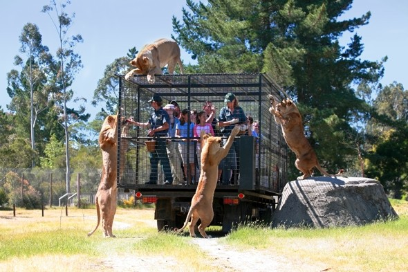 Would You Dare Tourists In Cages Drive Into Lion