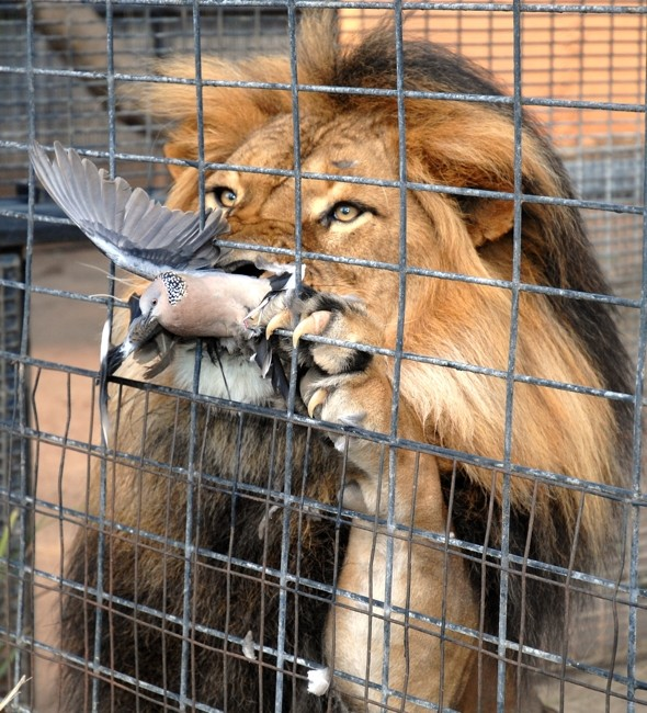 That Was Lucky Pigeon Escapes Jaws Of Lion After Flying