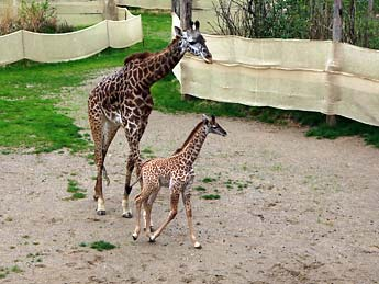 Sidneysaade Zuri The Giraffe Debuts At Cincinnati Zoo