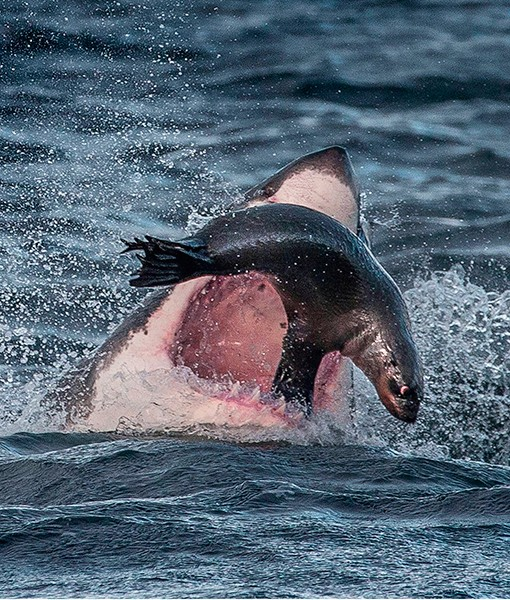 Great white shark eating seal video